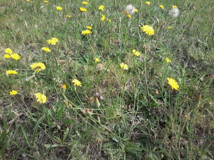 Dandelions on the pavement lawn