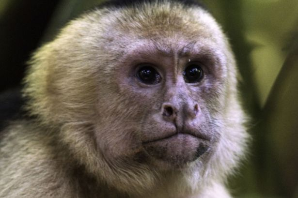 juvenile-female-Capuchin-monkey from mirror uk